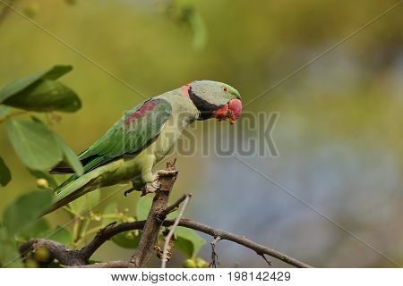 Indian green parakeet in Kaziranga/parakeet/Indian green parakeet in Kaziranga