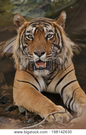 Tiger in the nature habitat. Tiger in a great composition. Wildlife scene with danger animal. Hot summer in Rajasthan, India. Dry trees with beautiful indian tiger, Panthera tigris