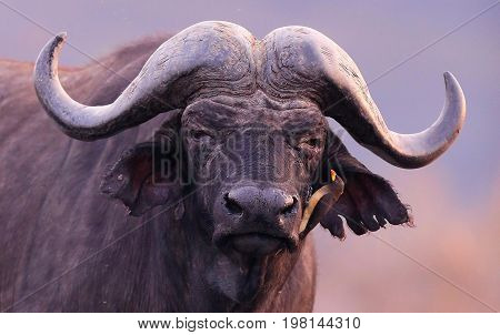 Buffalo in the dry nature habitat, wild africa, dangereous animal, african big five, this is africa, Masai Mara in Kenya