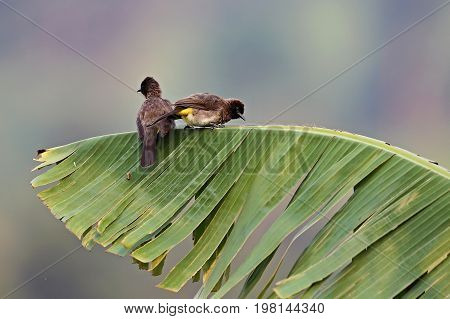 Bulbul birds on a green leaf in african nature, wild and nature habitat, african wilderness, beautiful little birds