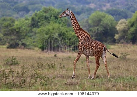 Giraffe in the beautiful nature habitat, wild africa, this is africa, colourful bush in Masai Mara in Kenya, beauty and gentility