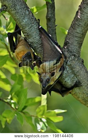 Flying Fox on flying in the african nature habitat, african bats and vampires, wildlife in africa