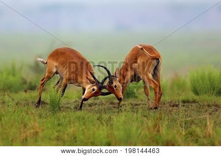 Kobe antelopes is fighting on the african grassland, pure wild africa, african wildlife, males fight