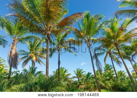 Coconut Palm Tree Plantation View From Bottom Floor