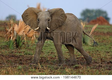 Elephant in the beautiful nature habitat, this is africa, african wildlife, endangered species, wild tanzania