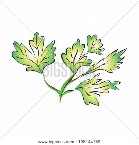 Green parsley leaves or celery. Vector illustration, isolated on white background.
