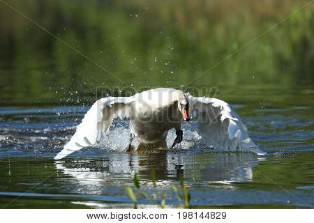 Swan male monitors and intimidates on his lake, nature habitat, european wildlife, great and beautiful birds, love