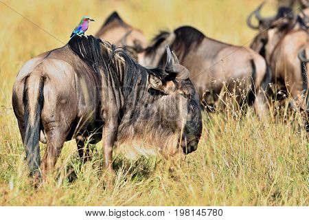 Wildbeest in the nature habitat during great migration in Masai Mara, wild africa, this is africa, Mara, Kenya, Tanzania, gnu