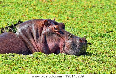 Hippos fight in the beautiful nature habitat, this is africa, african wildlife, endangered species, green lake