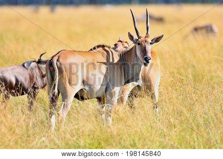 Common eland antilope in the nature habitat, wild africa, african wildlife, this is africa