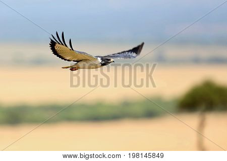 African raptor flying above our heads in the nature habitat, great bird, sky in africa, african wildlife