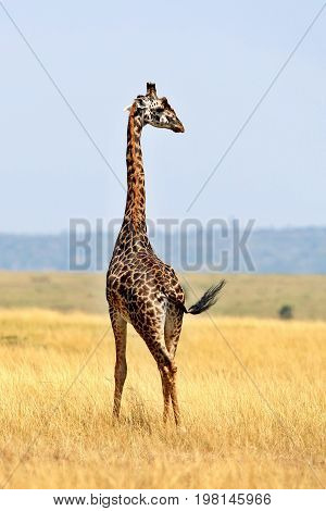 Giraffe in the beautiful nature habitat, wild africa, this is africa, colourful bush in Tanzania, beauty and gentility