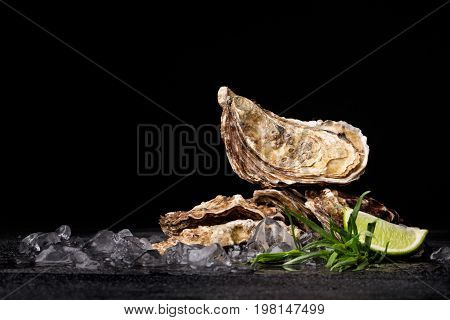 A close-up of juicy oysters on a black background. Fresh tropical sea mollusks full of nutrients. Close seashells with ice cubes and lime segment. Expensive food. The greatest delicacy. Copy space.