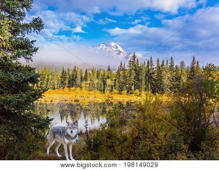 Gray Canadian wolf in the Rockies of Canada. Morning mist spreads over the forest. The concept of ecological tourism