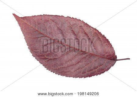 Organic, fresh and dark red autumn leaves, isolated on a white background. The beautiful burgundy plum leaf. Decorative and fresh red leaves.