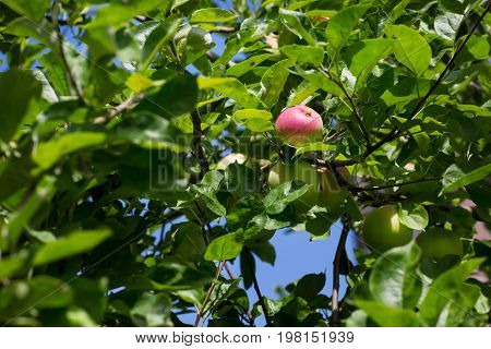 Branch of an apple tree with bright red and green apples on a sky background. A group of sweet and organic apples grow on apple-tree branch with leaves under sunlight. Summer fruits from garden.