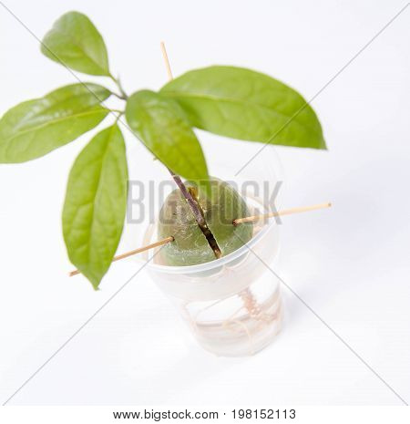 Growing an avocado plant from a pit