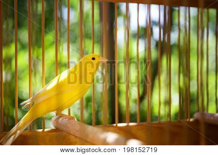 Close-up picture of a yellow bird in a bird cage on the natural background. The big cage with a beautiful bird in the green park on the blurred background. The cute bird in captivity.