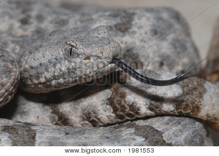 A macro photo of a mottled rock rattlesnake. poster