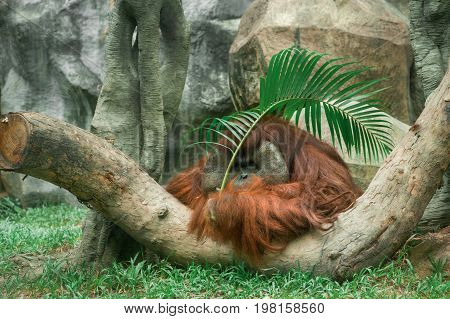 Orangutan relax and rest on a hot summer day