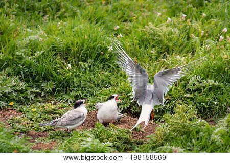 Arctic Tern feeding chicks on Farne Islands - Arctic Terns migrate from Antarctica to the Farne Islands in Northumberland to breed. They feed their chicks with sand eels