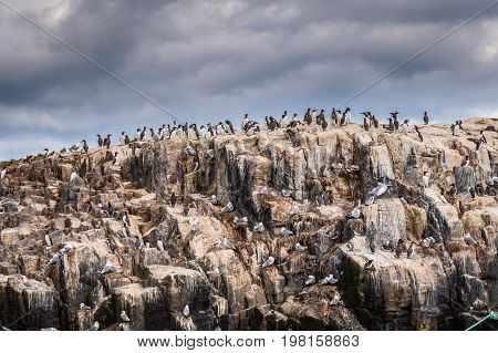 Farne Island Seabird Colony - A colony of seabirds cling to the cliff face on Staple Island in the breeding season