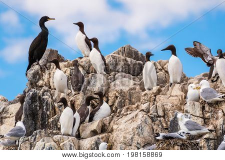 Colony of Seabirds at Farne Islands - A colony of seabirds cling to the cliff face on Staple Island in the breeding season