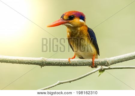 Black-backed Kingfisher Bird
