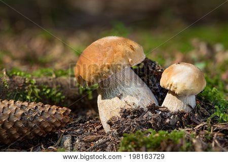 Boletus Edulis, Edible Mushrooms