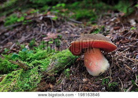 Neoboletus Luridiformis, Edible Mushrooms