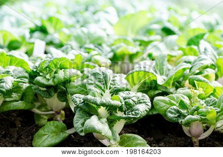 Chinese cabbage (Bok choy) growing in organic vegetables farm