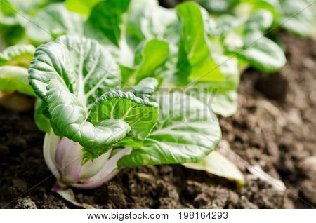 Chinese cabbage (Bok choy) growing in organic vegetables garden
