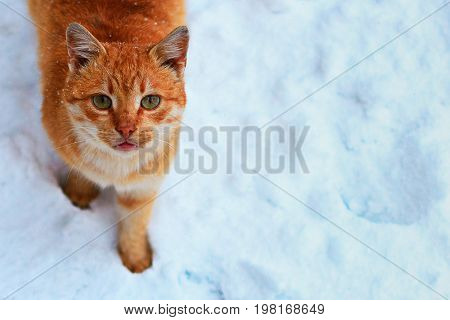 A red cat in the snow looks at the camera near. Snowing.