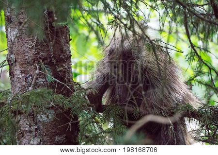 Porcupine On A Tree In Juneau Alaska