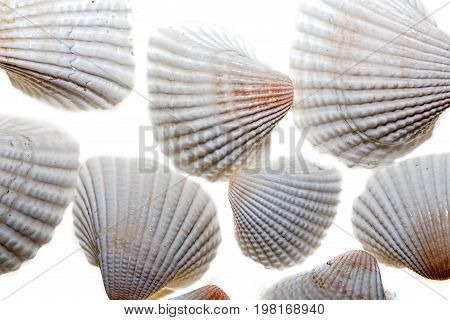 Seashells White cockle shells. Close up against white background. Beach and nature patterned backdrop image.