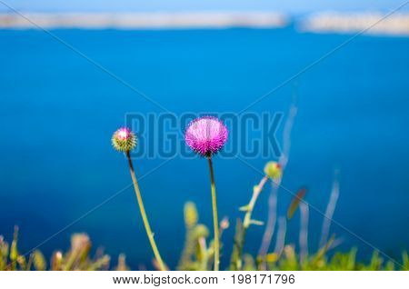 Pink wildflowers on the steep bank of the Sevastopol bay of the Black Sea of the Crimea. 2017
