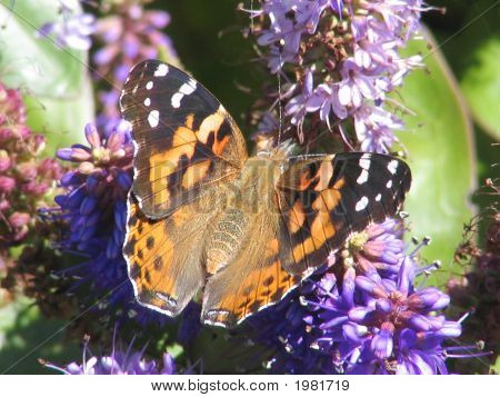 Brushfooted Butterfly