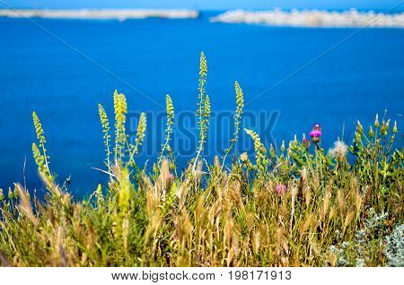 Field flowers on the steep bank of the Sevastopol bay of the Black Sea of the Crimea. 2017