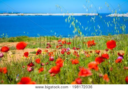 Bright red poppies flowers on the steep bank of the Sevastopol bay of the Black Sea of the Crimea. 2017