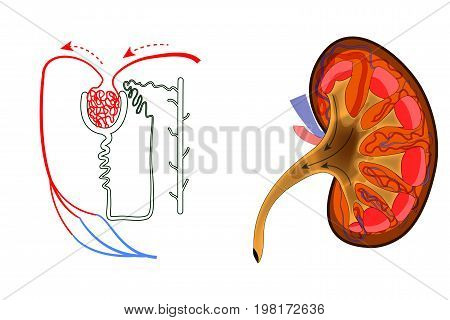 vector illustration of the structure of kidney and nephron