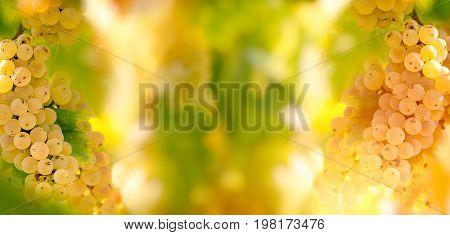Seasonal, autumn fruit - grape Riesling (wine grape) on grapevine in vineyard - on grapevine