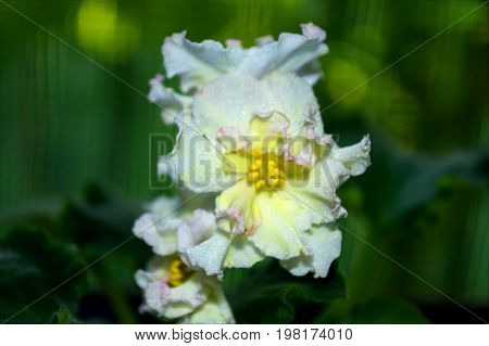 Photography Of White Saintpaulia Flower With Green Leaves