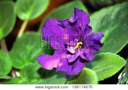 Photography Of Purple Saintpaulia Flower With Green Leaves