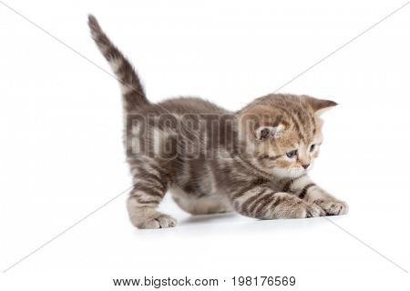 Young cat catching something isolated