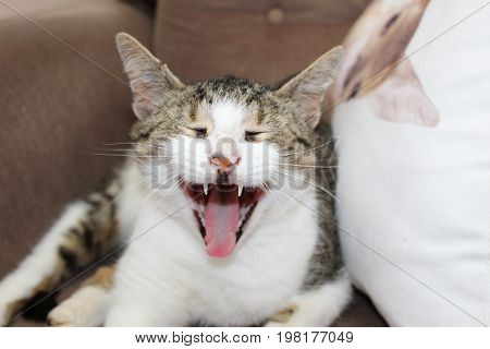 Funny close up of a yawning cat in a chair