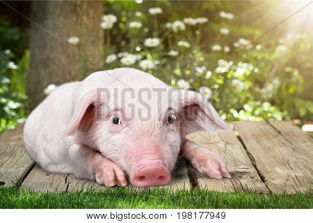 Little pink pig piggy baby animal baby pig young pig