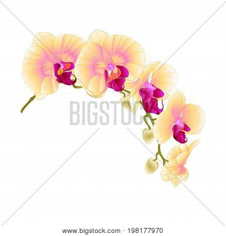 Beautiful isolated Orchid Yellow stem with flowers and buds vintage vector closeup editable illustration hand draw