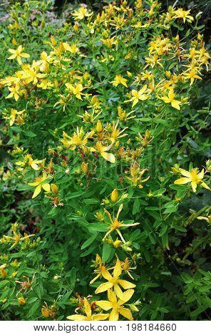 The flowers of the field. Herb St. John's wort