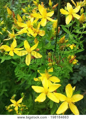 The flowers of the field. Herb St. John's wort.