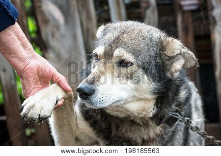 Portrait of a dog mongrel with the hand of the owner. A dog gives a paw to a person. Friendship between dog and man